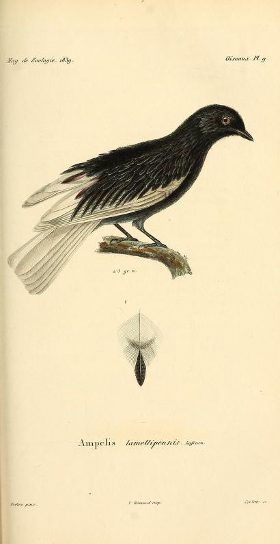 Oiseaux, Pl. 9. G. Cotinga. Ampelis. Lin.